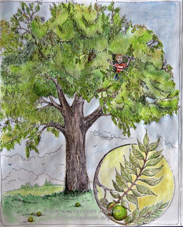 Black Walnut by artist judy Graversen Algaier The Treebook Project