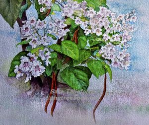 Catalpa by artist Sara Taliaferro The Treebook Project